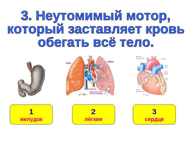 1 желудок 3 сердце 2 лёгкие