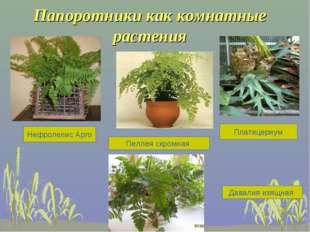 Папоротники как комнатные растения Нефролепис Арго Пеллея скромная Платицериу