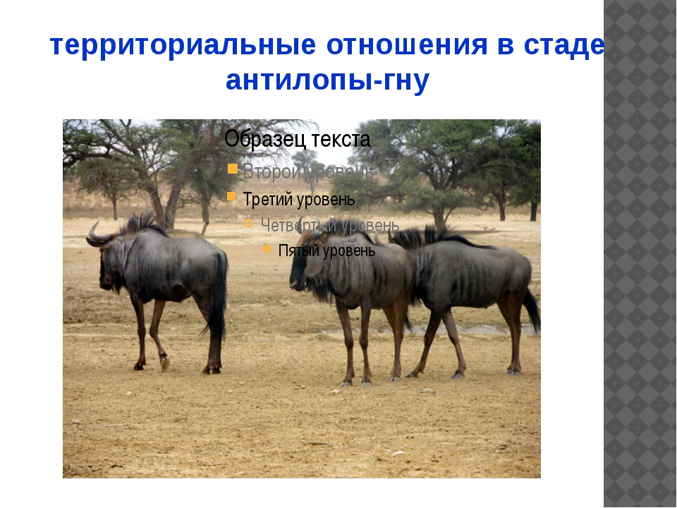территориальные отношения в стаде антилопы-гну