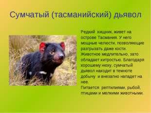 Сумчатый (тасманийский) дьявол Редкий хищник, живет на острове Тасмания. У не