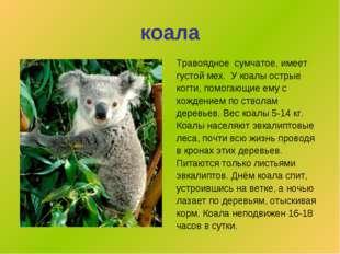 коала Травоядное сумчатое,имеет густой мех. У коалы острые когти, помогающие