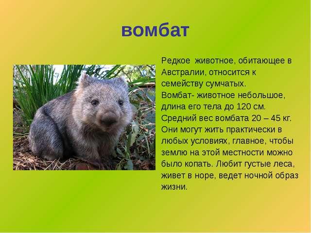 вомбат Редкое животное, обитающее в Австралии, относится к семейству сумчатых...