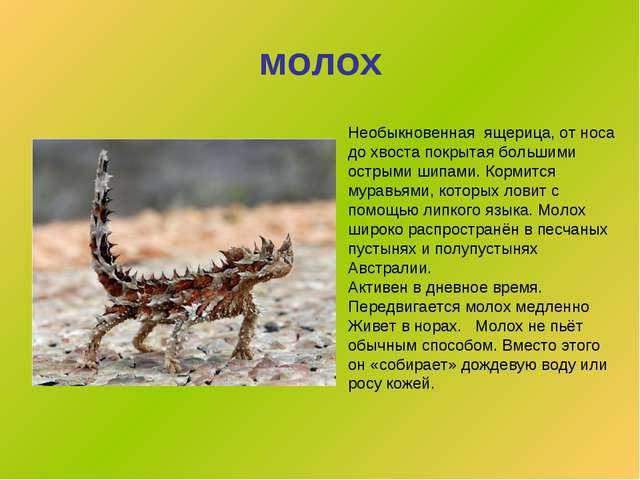 молох Необыкновенная ящерица, от носа до хвоста покрытая большими острыми шип...