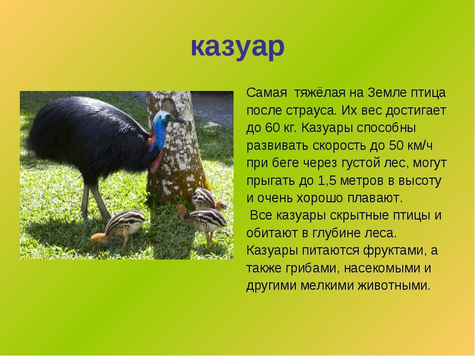 казуар Самая тяжёлая на Земле птица после страуса. Их вес достигает до 60 кг....