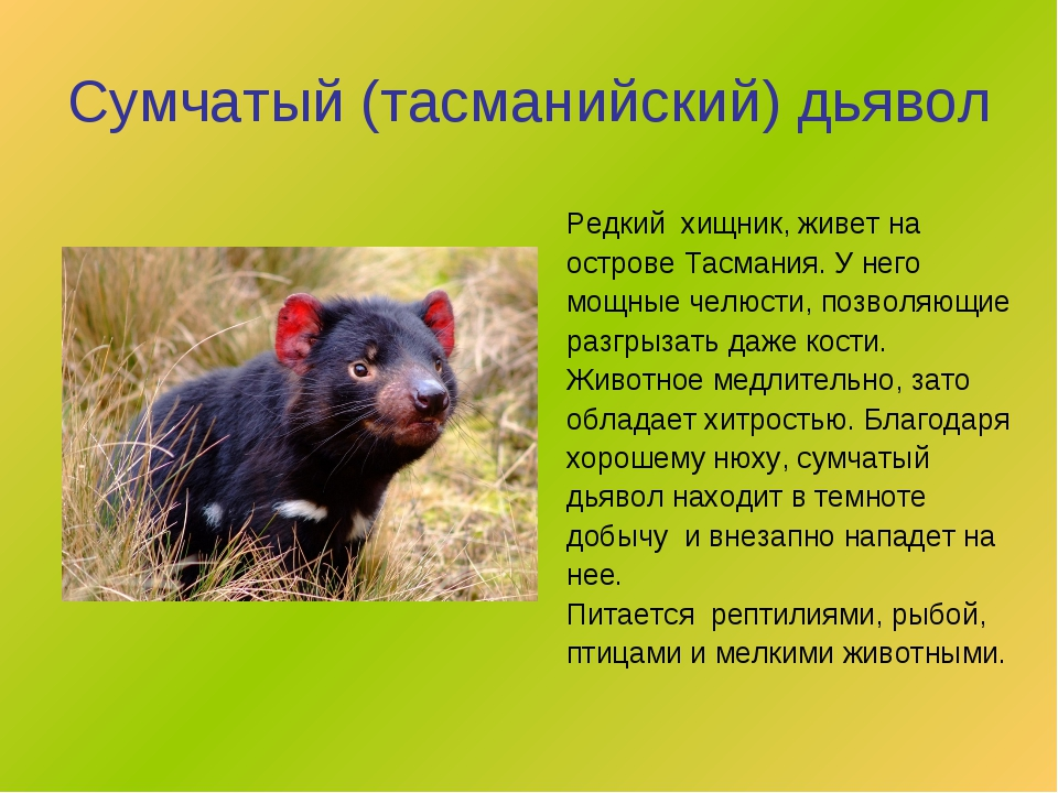 Сумчатый (тасманийский) дьявол Редкий хищник, живет на острове Тасмания. У не...