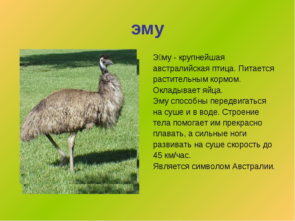 эму Э́му- крупнейшая австралийская птица. Питается растительным кормом. Окла...