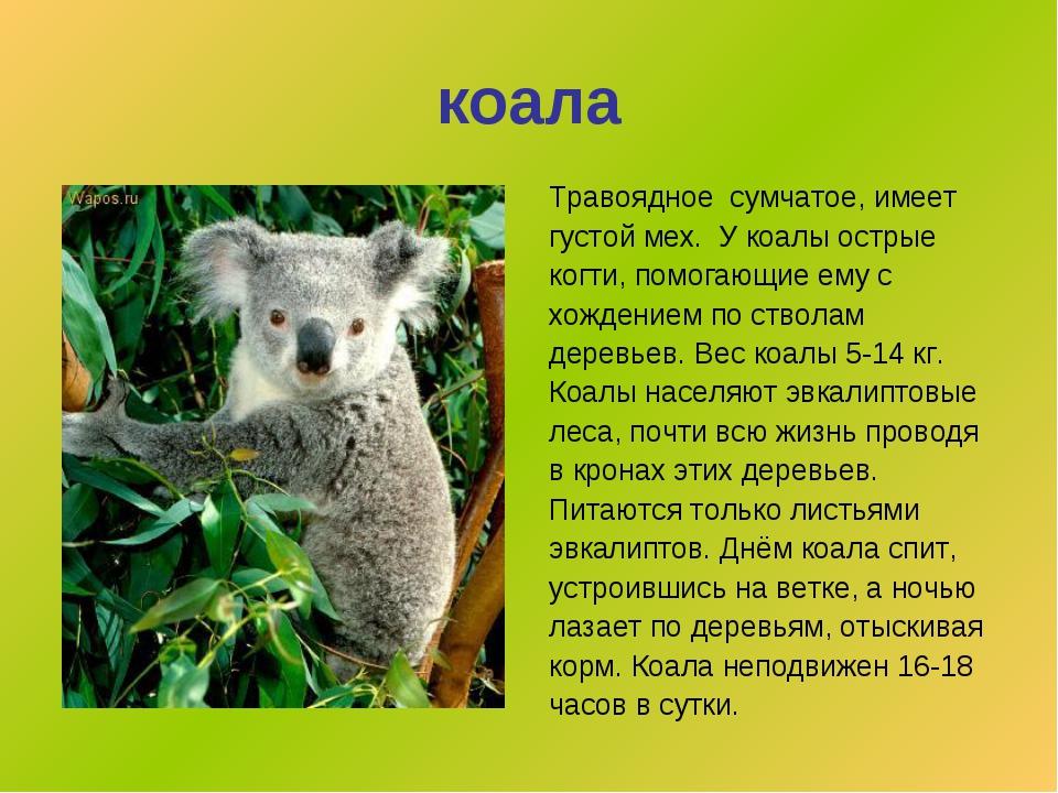 коала Травоядное сумчатое,имеет густой мех. У коалы острые когти, помогающие...