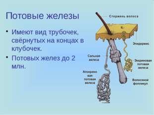 Потовые железы Имеют вид трубочек, свёрнутых на концах в клубочек. Потовых же