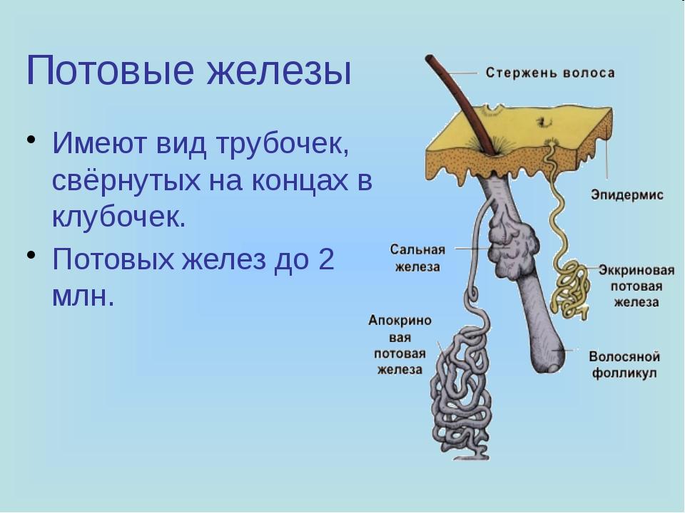 Потовые железы Имеют вид трубочек, свёрнутых на концах в клубочек. Потовых же...