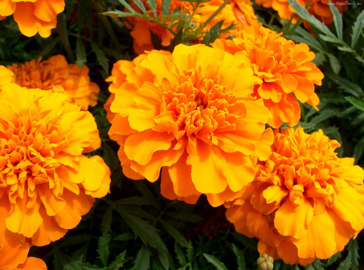 Бархатцы полезные свойства цветов. . Бархатцы многолетние - особенности ухода и выращивания растения.