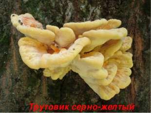 Трутовик серно-желтый