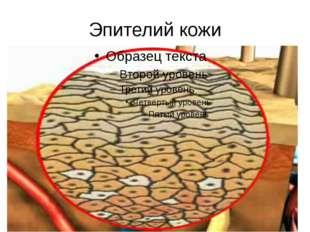 Эпителий кожи