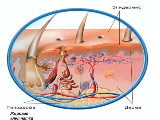Жировая клетчатка