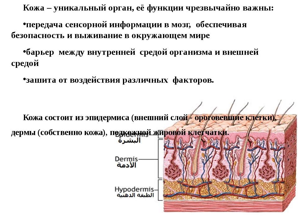 Кожа – уникальный орган, её функции чрезвычайно важны: передача сенсорной инф...