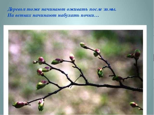 Деревья тоже начинают оживать после зимы. На ветках начинают набухать почки…