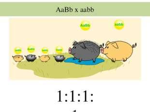 AaBb x aabb 1:1:1:1