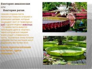 Виктория амазонская или Виктория регия. Нижняя сторона листа полностью покр