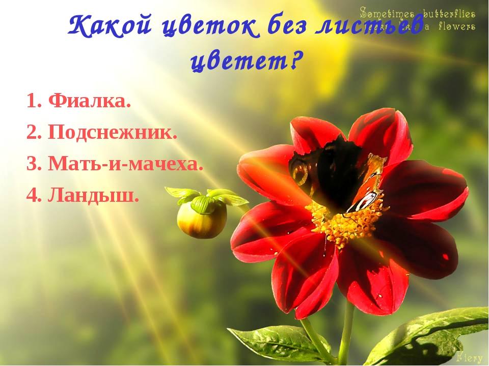 Какой цветок без листьев цветет? 1. Фиалка. 2. Подснежник. 3. Мать-и-мачеха....
