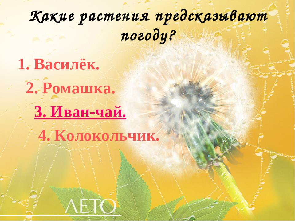 Какие растения предсказывают погоду? 1. Василёк. 2. Ромашка. 3. Иван-чай. 4....