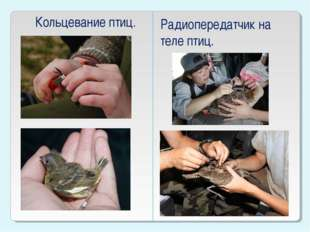 Кольцевание птиц. Радиопередатчик на теле птиц.