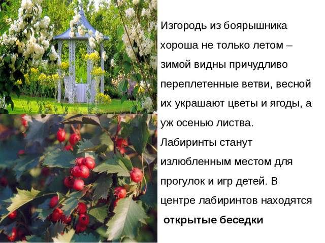 Изгородь из боярышника хороша не только летом – зимой видны причудливо перепл...