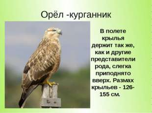 Орёл -курганник В полете крылья держит так же, как и другие представители род