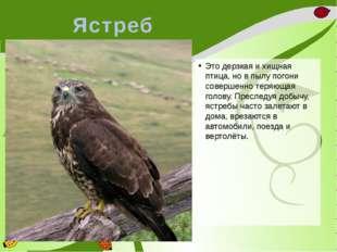 Ястреб Это дерзкая и хищная птица, но в пылу погони совершенно теряющая голов
