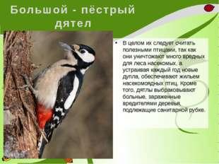 Большой - пёстрый дятел В целом их следует считать полезными птицами, так как