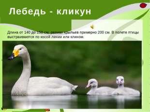 Лебедь - кликун  Длина от 140 до 150 см, размах крыльев примерно 200 см. В п