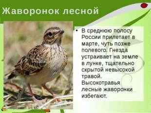 Жаворонок лесной В среднюю полосу России прилетает в марте, чуть позже полево