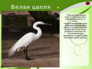 Белая цапля Очень красивая крупная птица 94-104 см высотой и размахом крыльев