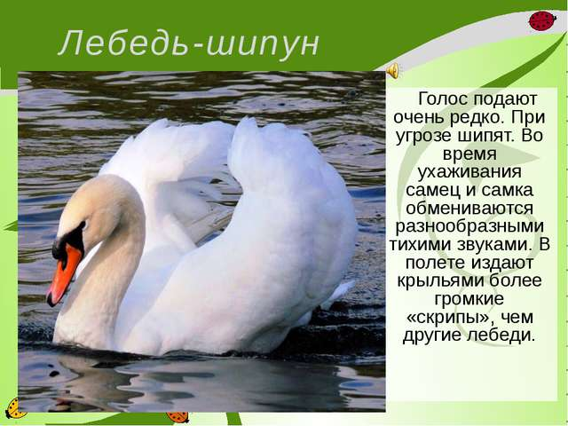 Лебедь-шипун  Голос подают очень редко. При угрозе шипят. Во время ухаживан...