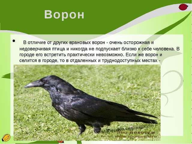 Ворон  В отличие от других врановых ворон - очень осторожная и недоверчивая...