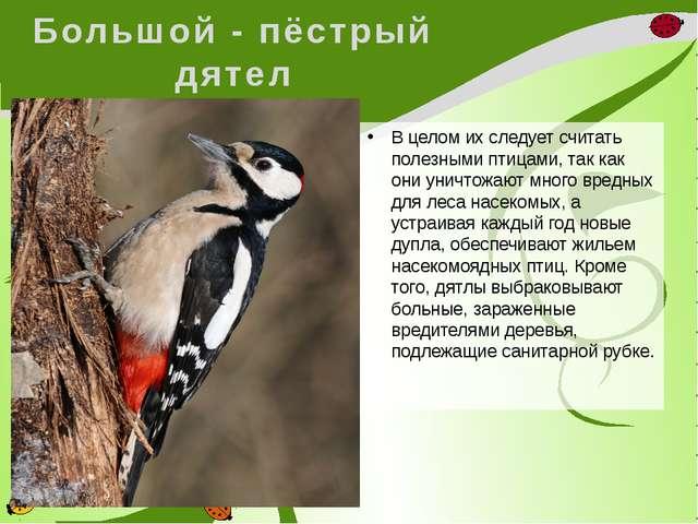 Большой - пёстрый дятел В целом их следует считать полезными птицами, так как...