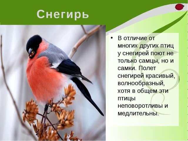 Снегирь В отличие от многих других птиц у снегирей поют не только самцы, но и...