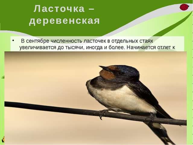 Ласточка – деревенская В сентябре численность ласточек в отдельных стаях уве...