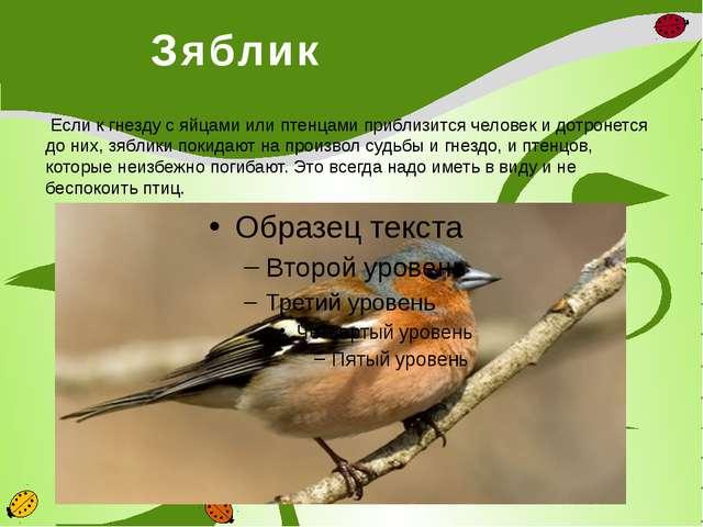 Зяблик Если к гнезду с яйцами или птенцами приблизится человек и дотронется...
