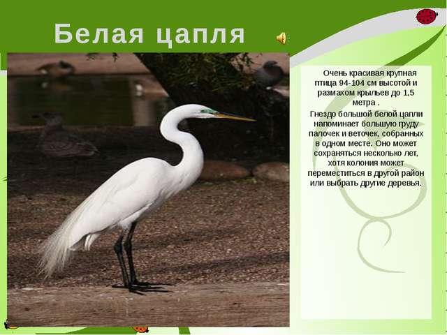 Белая цапля Очень красивая крупная птица 94-104 см высотой и размахом крыльев...