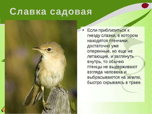 Славка садовая Если приблизиться к гнезду славки, в котором находятся птенчик...