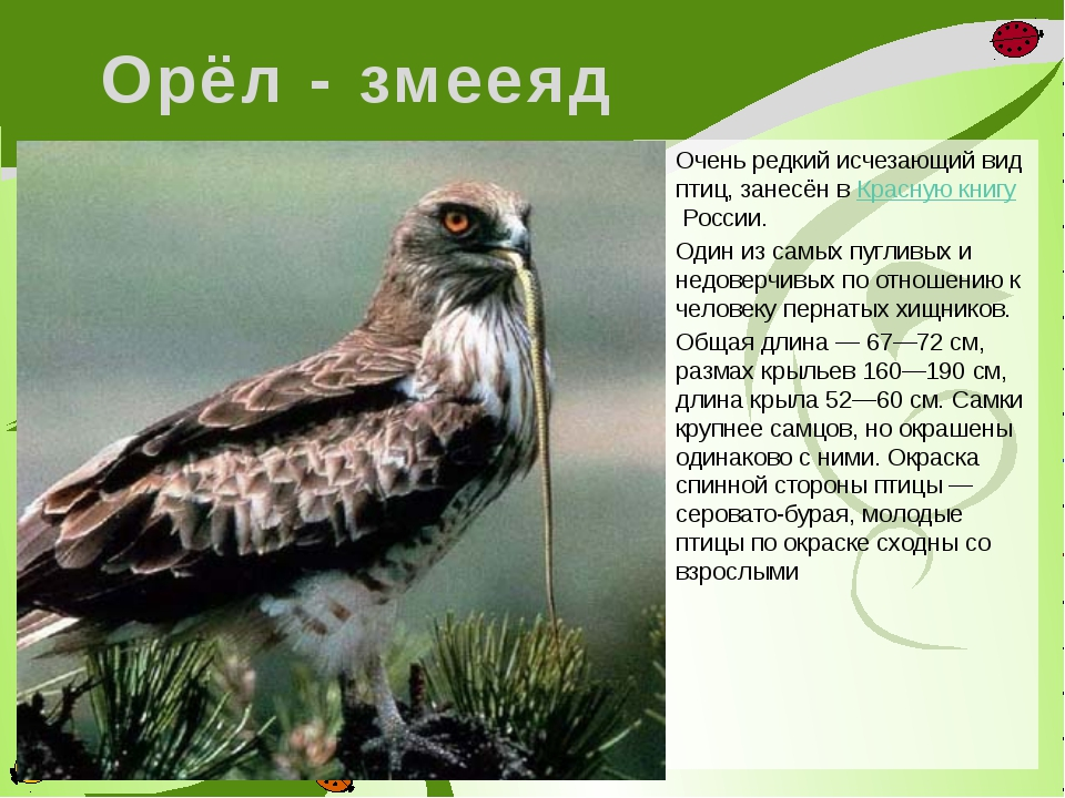 Орёл - змееяд Очень редкий исчезающий вид птиц, занесён вКрасную книгуРосси...