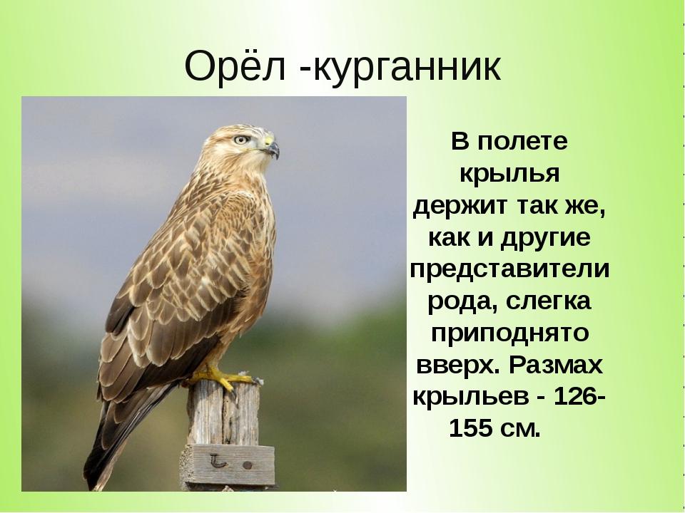 Орёл -курганник В полете крылья держит так же, как и другие представители род...