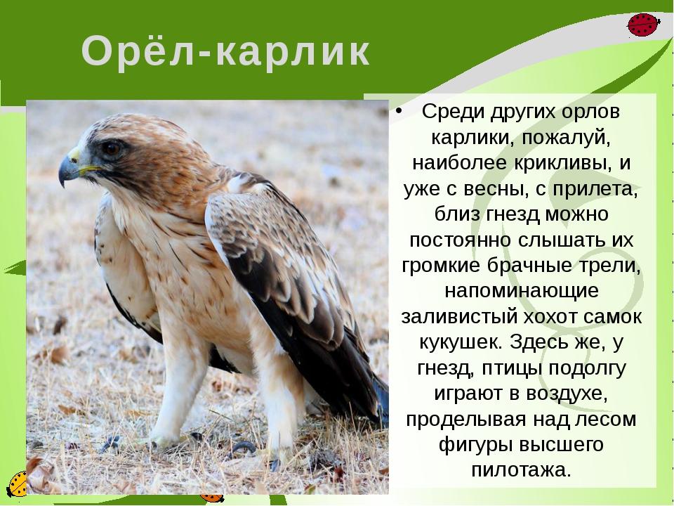 Орёл-карлик Среди других орлов карлики, пожалуй, наиболее крикливы, и уже с в...