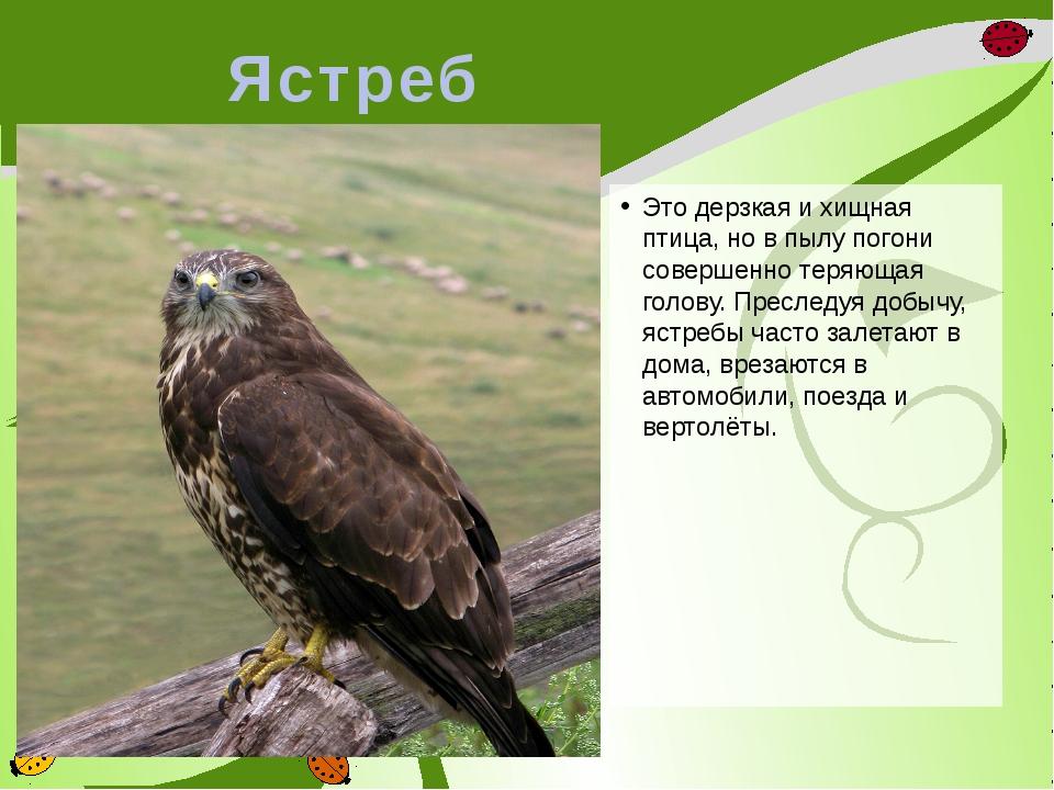 Ястреб Это дерзкая и хищная птица, но в пылу погони совершенно теряющая голов...