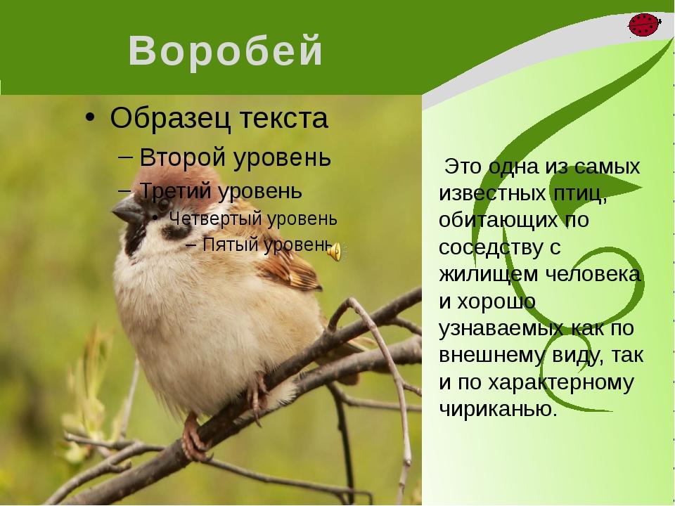 Воробей Это одна из самых известных птиц, обитающих по соседству с жилищем ч...