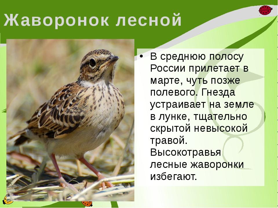 Жаворонок лесной В среднюю полосу России прилетает в марте, чуть позже полево...
