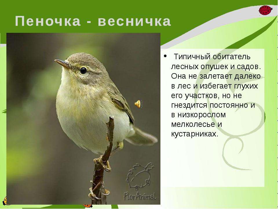 Пеночка - весничка Типичный обитатель лесных опушек и садов. Она не залетает...