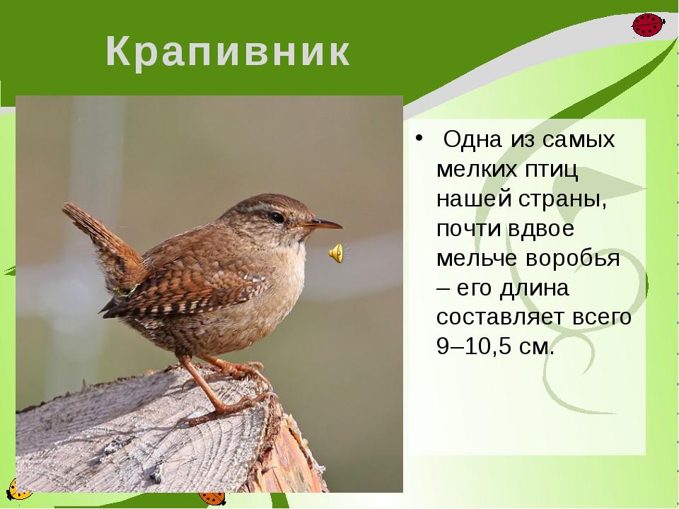 Крапивник Одна изсамых мелких птиц нашей страны, почти вдвое мельче воробья...