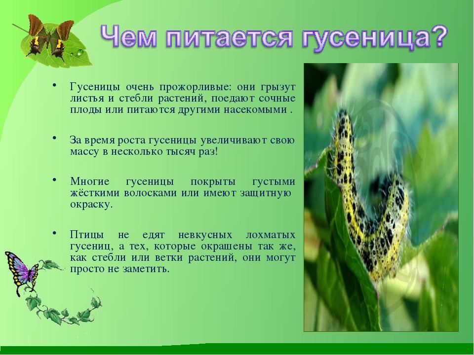 Гусеницы очень прожорливые: они грызут листья и стебли растений, поедают соч...