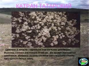 КАТРАН ТАТАРСКИЙ Цветет в начале - середине мая белыми цветками. Высота самог