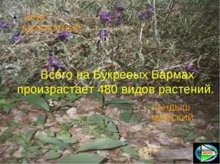Всего на Букрееых Бармах произрастает 480 видов растений. ИРИС БЕЗЛИСТНЫЙ ЛАН
